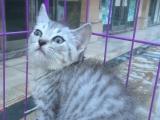 甜美长相美短虎斑精品猫咪