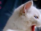 自家繁育带证书高品质布偶猫宝宝找新家