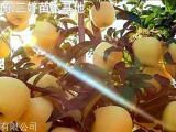 维纳斯黄金苹果苗售价山东泰安