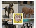 专业繁殖出售纯种比特犬身体强壮 非常凶猛 欢迎选购