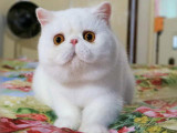 贵州贵阳双血统净梵加菲猫猫舍特惠