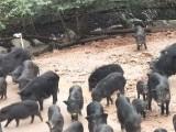 广东阳春市的藏香猪养殖成本需要多少藏香猪养殖利润