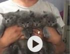 蓝猫一公一母2个月出售