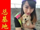 郑州哪里出售(金毛)保纯保健康疫苗驱虫均已做完
