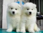 微笑白天使 薩摩耶幼犬 乖巧雙眼皮 保健康純種狗狗