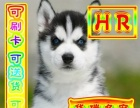 专业繁殖基地终身售后哈士奇签订协议来场见小狗