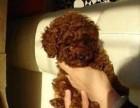 棕色贵宾幼犬价钱迷你贵宾小狗多少钱一只贵宾好养吗