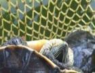 天池花龟头线绿