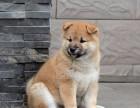 武汉纯种柴犬价格 武汉哪里能买到纯种柴犬