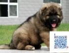 高加索猛犬护卫犬大头大骨量毛量 纯种健康 包售后