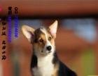 信誉保证 结爱狗人士 直销纯种威尔士柯基宝宝 签协议