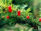 红豆杉的绿化价值