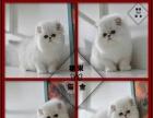 猫舍直销出售金吉拉保纯保健康可送货上门