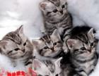 美国短毛猫银虎斑纯种活体 美短虎斑幼猫活体家养幼崽