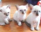 暹罗猫咪找新家 聪明度堪比狗狗的一种神奇猫咪 喜欢就电话我吧