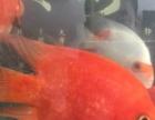 财神鹦鹉和印尼虎出售或换鱼