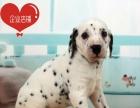 年底特惠狗场直销大麦町斑点狗签协议包健康送用品一套