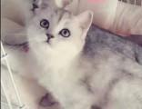 豹猫专卖 淘宝店铺搜:双飞猫