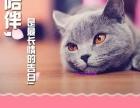 美国短毛猫家养宠物猫活体纯种幼猫 美短起司加白出售