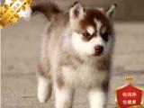 哈士奇幼犬双蓝眼三把火保纯种保健康可签协议