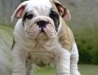 自家大狗生的一窝英国斗牛犬可以来家里看大狗品相