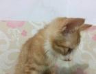 自家猫咪喂养,繁育的小猫咪,超级可爱