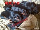 最好的小莱州红犬幼犬价格图片