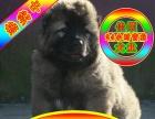 买纯种高加索犬签协议保健康种公配种可送货