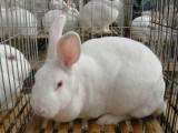 北京密云廠家供應黑兔 蓮山黑兔 肉兔 純種蓮山黑兔