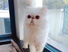 纯种波斯猫求新家