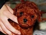 珠海哪里有泰迪犬卖 珠海泰迪犬犬多少钱 珠海泰迪犬犬价格
