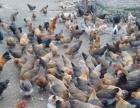 批发散养土鸡