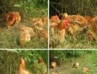 长期出售麒麟鸡