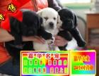 买纯种拉布拉多幼犬/三年联保签协议/可送货