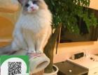 柳州哪里有布偶猫出售 柳州布偶猫价格 布偶猫多少钱