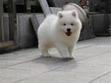 重庆出售 萨摩耶犬,疫苗驱虫已做视频