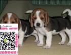 上海比格宠物狗出售转让 比格狗舍多少钱 买卖比格幼犬