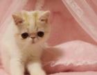【加菲猫】自养加菲猫加菲弟弟求铲屎官一枚