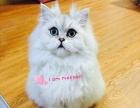 家养纯种双色基因高银渐层金吉拉小猫DDMM求富养