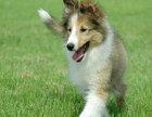 哪里有苏牧出售 纯种苏格兰牧羊犬多少钱