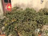 出售盆栽桂花