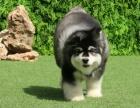 重庆狗场 重庆阿拉斯加怎么卖 阿拉斯加价格 阿拉出售