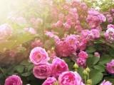 精油代加工 玫瑰精油OEM品牌格凌兰大马士革玫瑰精油上市