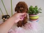 纯种茶杯玩具泰迪犬 品相好 颜色齐 签售后 包健康