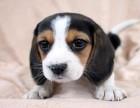比格犬 常年销售 包细小犬瘟冠状 包防疫包纯种
