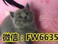 家庭繁殖英短蓝猫/蓝白/渐层/金吉拉等-价格亲民