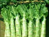 产地直供新鲜脆嫩莴笋 绿色无公害蔬菜种植基地直销 大量批发销售