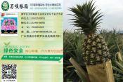 珠海凤梨|[万顷粮园生态农业]凤梨品质好
