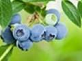 绿色无添加蓝莓干诚招代理