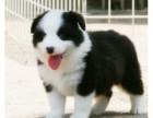 重庆圆脸 厚毛量棉花糖比熊 超小体比熊幼犬 宠物狗活体